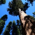 Giant Sequoia Trees Could Be One of the Answers to Tackle Climate Change