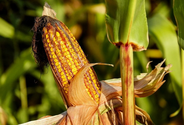 Corn for ethanol