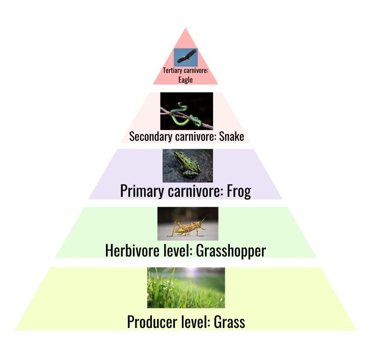 pyramid of numbers with five trophic levels